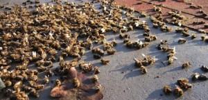 abeilles-mortes_melty_448